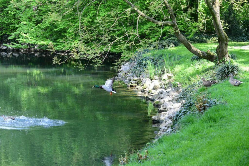 anatra plana nell'acqua vista da lontano