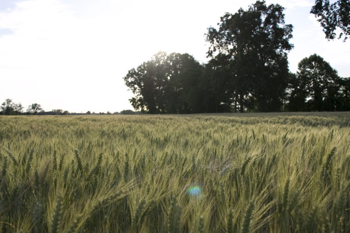 un campo di grano coltivato nei pressi di cascina farisengo